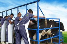 Palpação retal bovinos