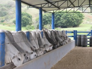gado em confinamento