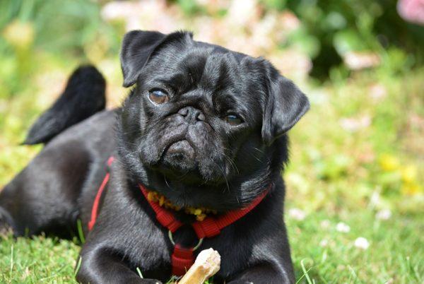 Colapso de traqueia em cães