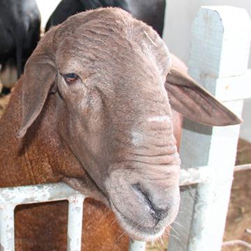 Reprodução de ovinos como a ultrassonografia facilita na criação