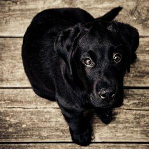 Otohematoma em cães