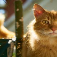 Icterícia em gatos