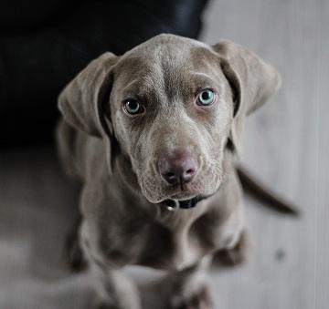 Doenças oftalmológicas em pequenos animais
