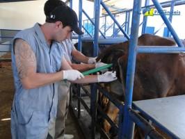 IATF bovinos