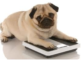 Cão com obesidade