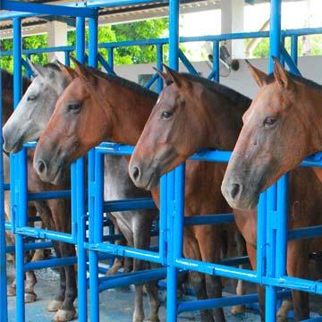 Inseminação artificial em equinos conheça as vantagens!