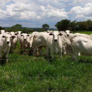 nutrição de bovinos de corte