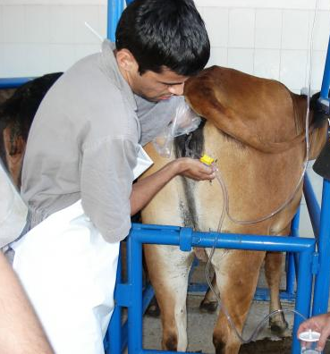 fiv bovinos