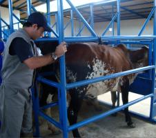 palpaçã retal em bovinos
