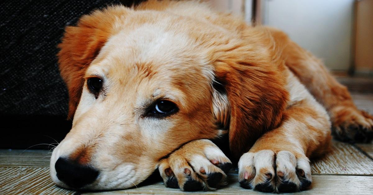 Berne em cães