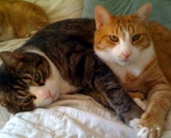 ronronar dos gatos