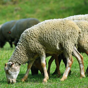 Ultrassonografia em ovinos saiba quais as técnicas fundamentais