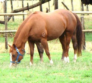 cavalo alimentando