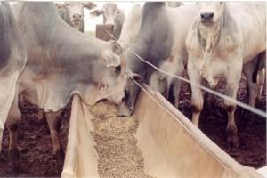 alimentacao-animal-gado-de-corte