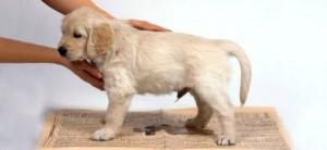 cachorro fazendo xixi
