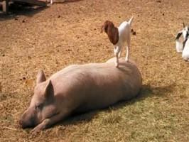 filhote de cabra e suino