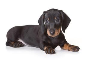O famoso salsichinha é o cão mais feroz do mundo