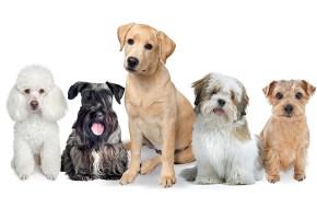 Raças caninas mais predispostas ao diabetes