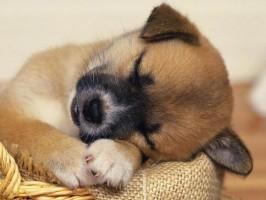 cães também sonham