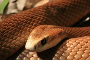 Serpentes vivem dentro de casas na Austrália