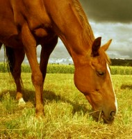 A nutrição adequada na alimentação de equinos