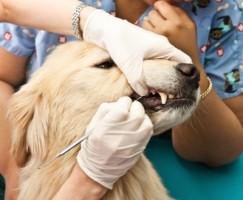 odontologia em caes e gatos2