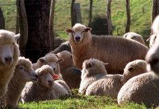 Castração diminui a qualidade da carne de cordeiros