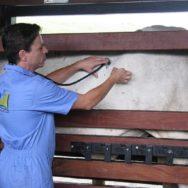 Cesariana em bovinos
