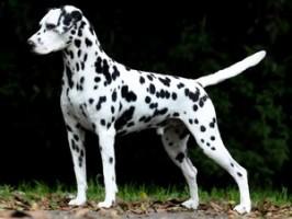 Sintomas característicos da artrose em cães