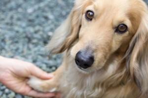 Luxação de patela em cães e a necessidade de intervenção cirúrgica