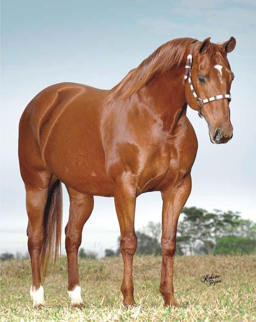 cavalo-quarto-de-milha