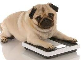 cão obeso
