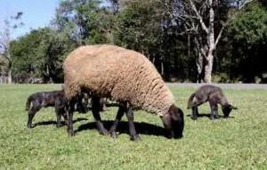 toxemia em ovinos