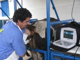 ultrassonografia em bovinos