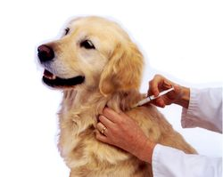 vacina_caes