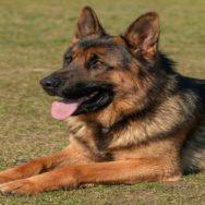 vasectomia em cães
