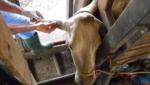 IATF em bovinos saiba quais os principais hormônios utilizados