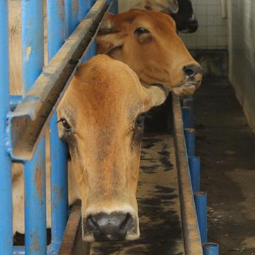 O papel das vacas receptoras para a transferência de embriões em bovinos