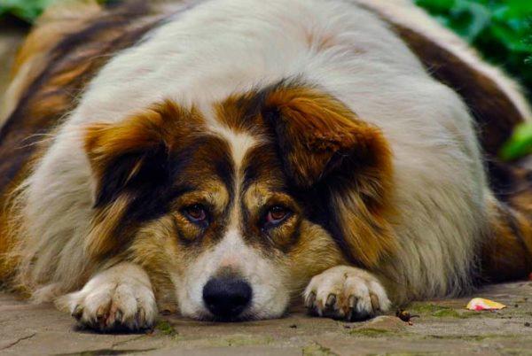 Obesidade canina e anestesia entenda os riscos!
