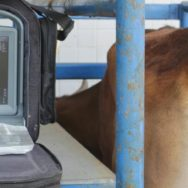 Infecções uterinas em vacas entenda mais sobre esse mal!