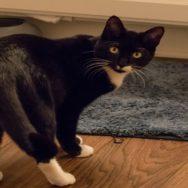 Prolapso da terceira pálpebra em gatos