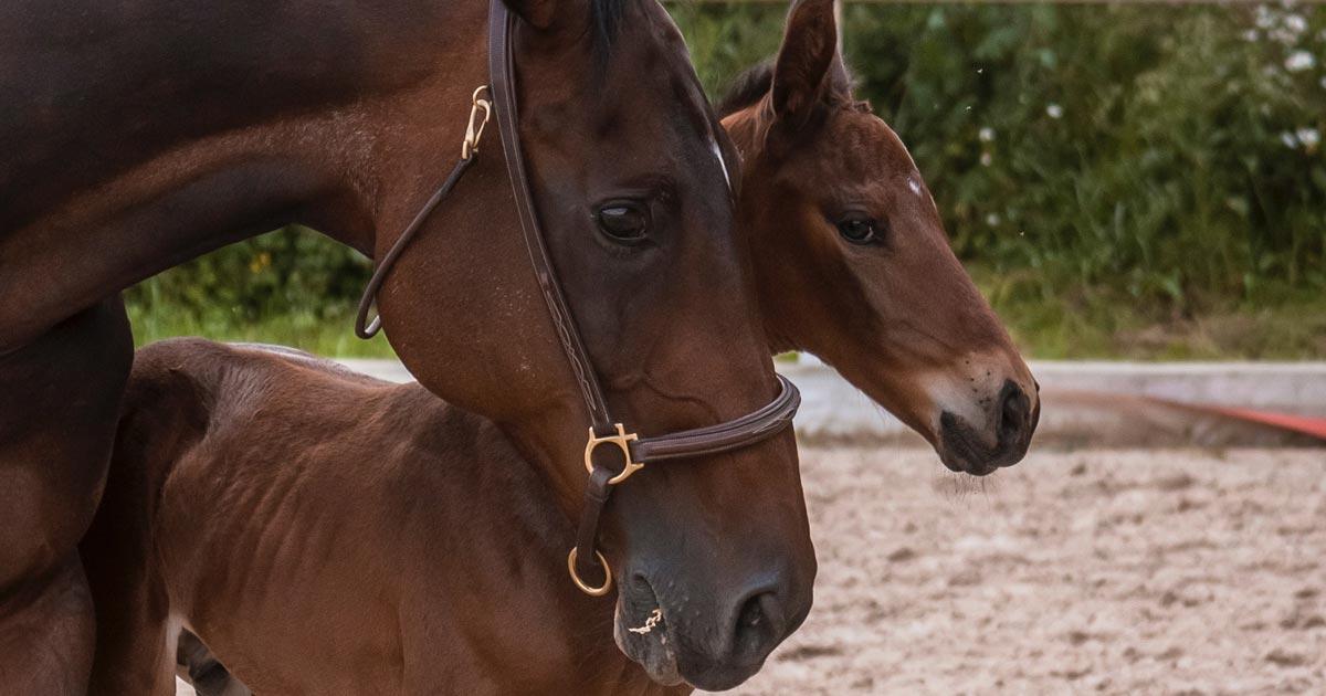 Injeção intracitoplasmática de espermatozoides (ICSI) em equinos conheça essa técnica