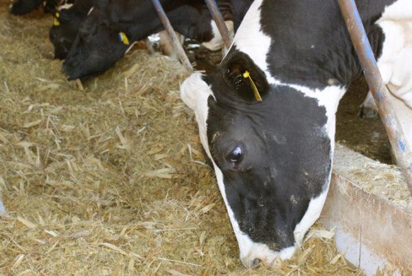 Cetose bovina erros na nutrição de vacas leiteiras tem relação com a doença