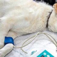 linfoma canino o papel da ultrassonografia para o diagnóstico