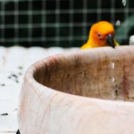 Aves domésticas principais cuidados na clínica de pequenos animais