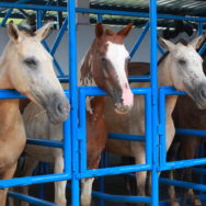 Inseminação artificial em equinos conheça mais sobre essa técnica