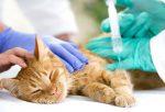 Anestesia injetável em pequenos animais: entenda as indicações