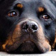 Torção gástrica em cães entenda o diagnóstico e o tratamento