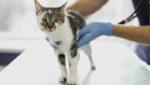 intoxicação em gatos