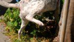 Hematúria em cães entenda mais sobre o sangue na urina